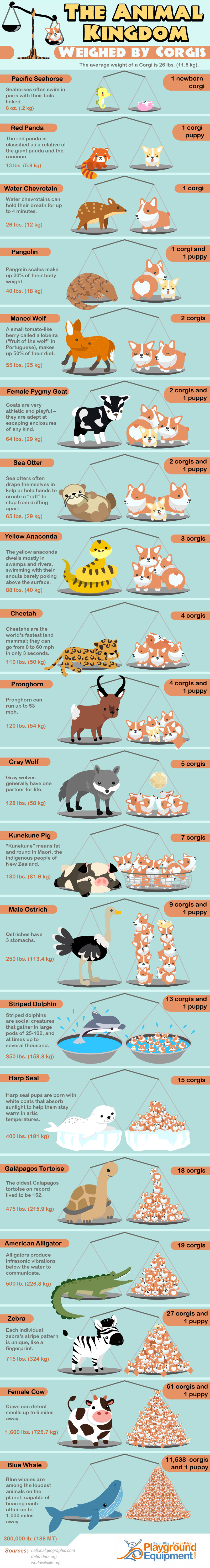 The Animal Kingdom Weighed by Corgis - PlaygroundEquipment.com - Infographic